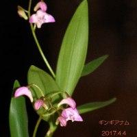 ギンギアナム>開花