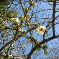 白しだれ梅も開花。クリスマスローズ色々、ニオイスミレも咲いてます。