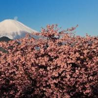 デジブック 『松田の河津桜』