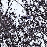 今日の野鳥  ルリビタキ・コゲラ・カケス