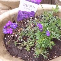 夏花壇の準備①丈夫な~ペチュニア ロベリア バーベナ