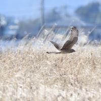 風に流されながら飛ぶ、ハイイロチュウヒのメス。