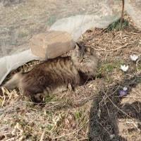 クロッカス受難の春