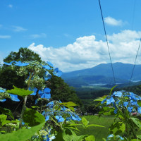 黒姫高原『雪アジサイ』が咲きはじめ
