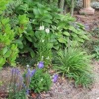 ◎ソヨゴ周りの庭花 桔梗とか・・&種から綿