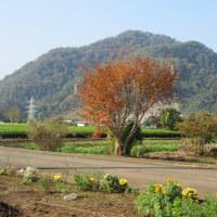 一人シニアの漫遊記(玉ねぎ苗を植え後は収穫のみ 2016年11月)
