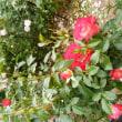 赤いバラが咲いた