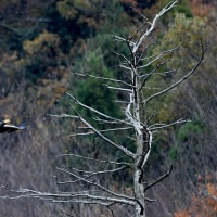 1.湖北のオオワシ