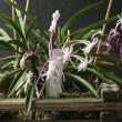 看板木  富貴蘭<<朱天王>>の開花です
