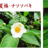 ≪ナツツバキ・夏椿≫