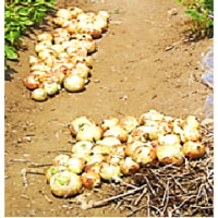 傾倒化 玉ネギ の 収穫