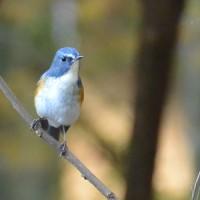 ルリビタキ(青い鳥)
