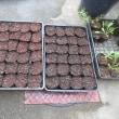 イチゴ苗作り