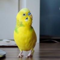 【690】鶏そぼろとセキセイインコ
