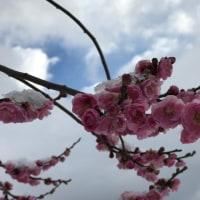 雪をかぶった梅の花