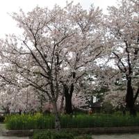 ☆高田城百万人観桜会☆