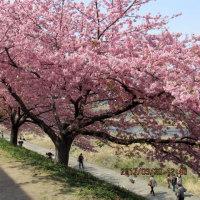 岡崎市乙川の 川津桜