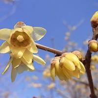 季節の花「蝋梅(ろうばい)」