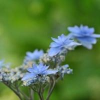 越後のアジサイの花と糸トンボ