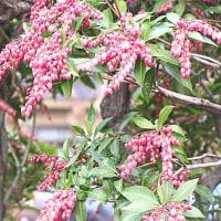 馬酔木(あせび)の花