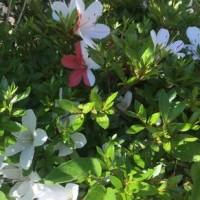 紅白のサツキの花