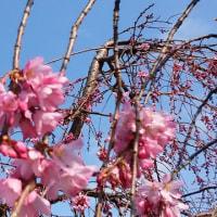 久御山町の三春桜も満開