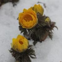 雪を割って咲く福寿草は  私たちには特別な存在なの