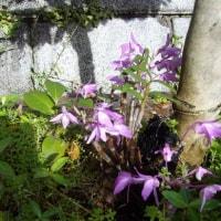 セッコク:蘭:日本固有種