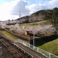 御所の台ふれあいパーク桜開花状況(H29.4.23)