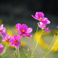 くりはま花の国~秋桜2