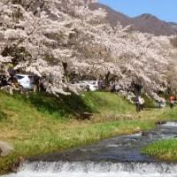 猪苗代町  川桁  桜並木