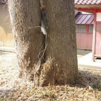 千葉県大網白里市、細草賀茂神社のシイです!!