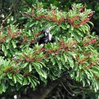 タブノキの実を食べるオーストンオオアカゲラ