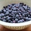 ブルーベリーの収穫の日々