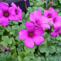 季節の花「オキザリス」