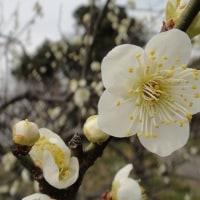 佐布里池梅林の梅の花