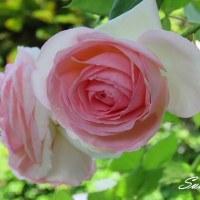 散歩と庭の花