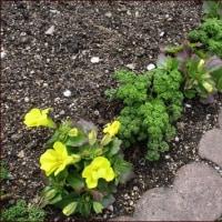 里帰り苗と庭の花たち