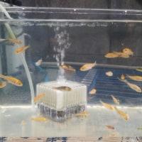 鯉が居る温泉と稚魚治療