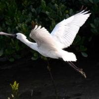沖縄探鳥行-3 クロツラヘラサギ