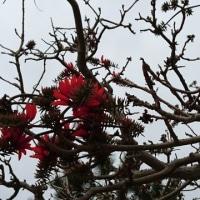 沖縄の 県花 … でいご