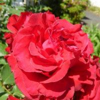 廻るもの 季節の花 バラ
