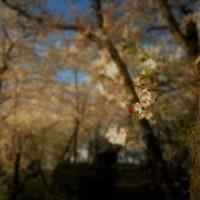 【写真】昔のなつかしさが込み上げる桜