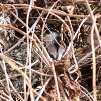 藪の中のエナガの巣