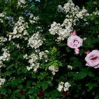 5月18日の北公園のバラ30枚 1