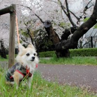 多摩川  桜と富士山と満月と