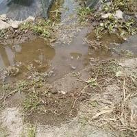 大川のヤギ達。雨が降らない梅雨・・・?。