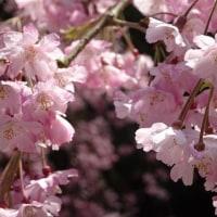 枝垂れ桜 in 京都亀岡 和らぎの道