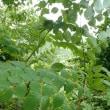 6月11日(日) 奥多摩 「カタクリ山の下草刈り」