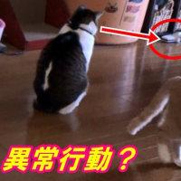 ♀猫こむぎが始めた掃除機への異常行動とは!?【猫日記こむぎ&だいず】2017.04.20